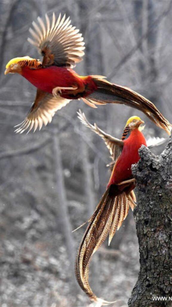 golden pheasant iphone wallpaper