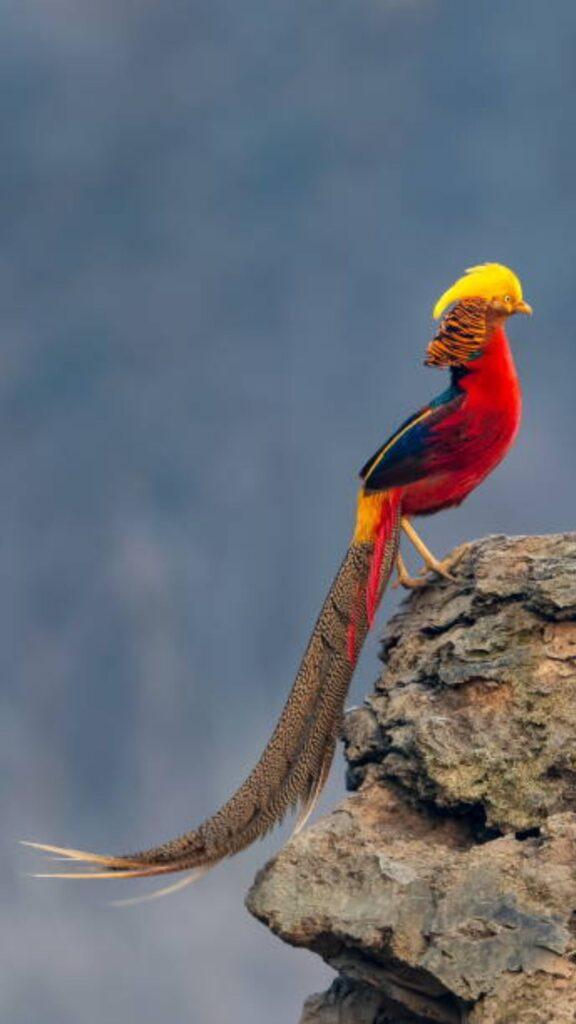 golden pheasant images