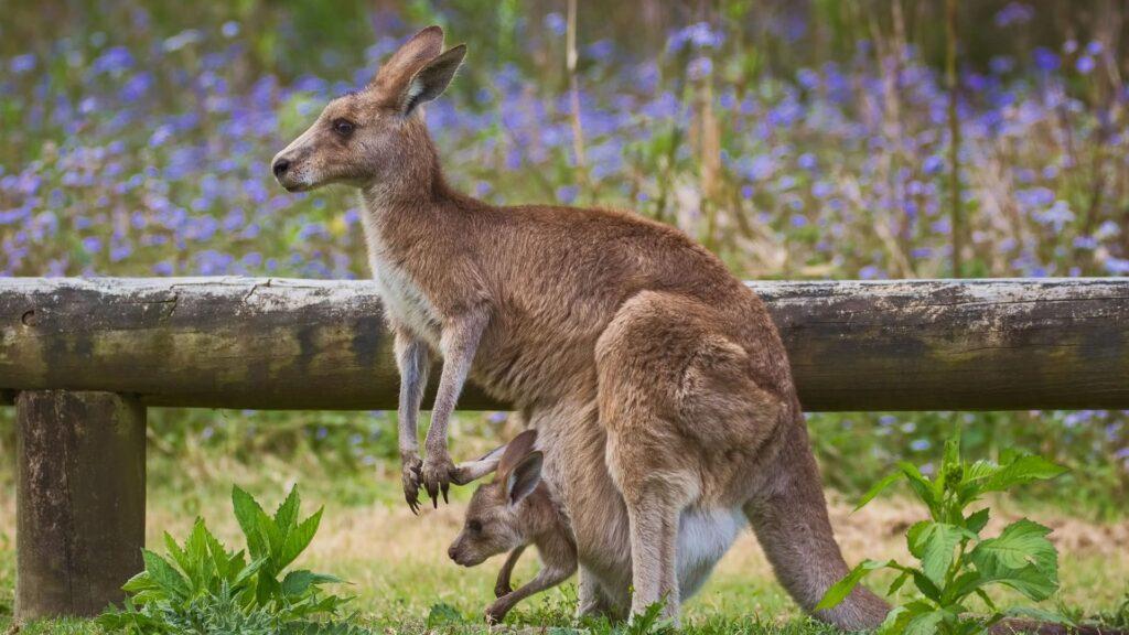 kangaroo backgrounds