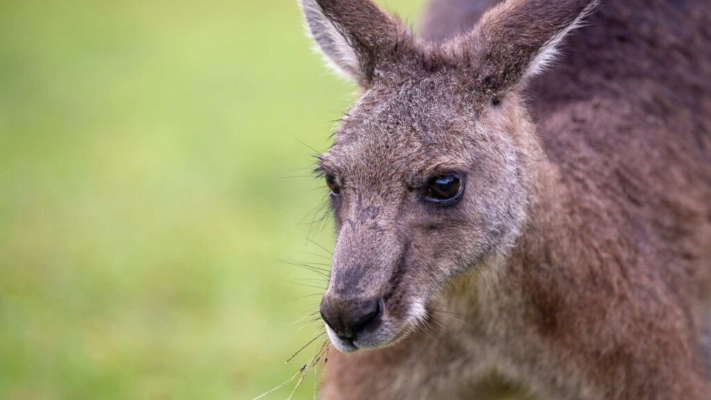 kangaroo computer wallpaper