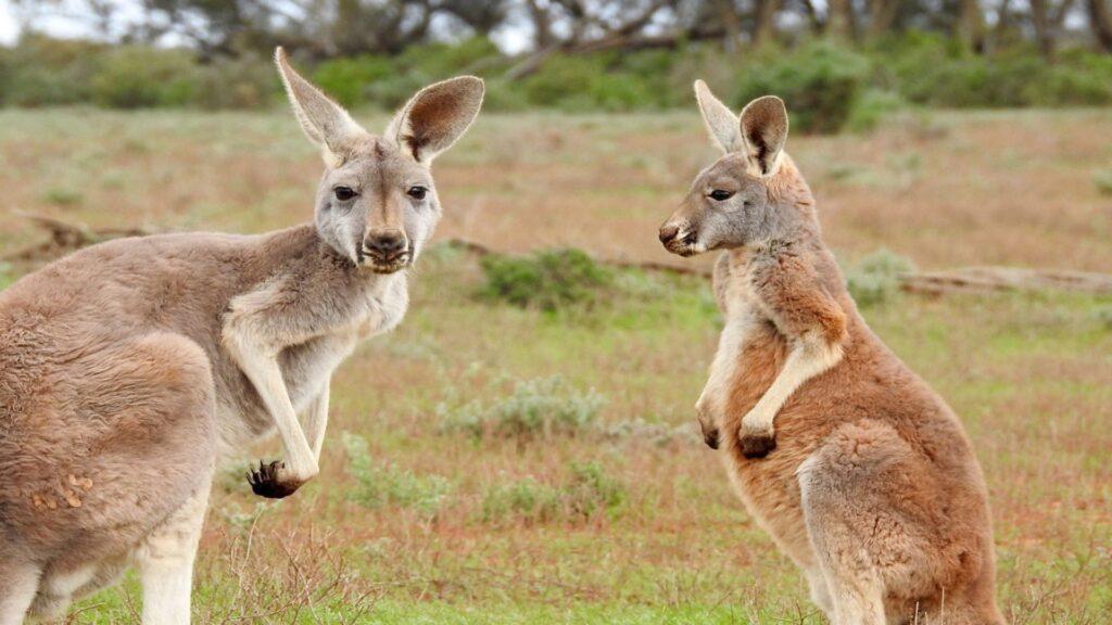 kangaroo laptop wallpaper