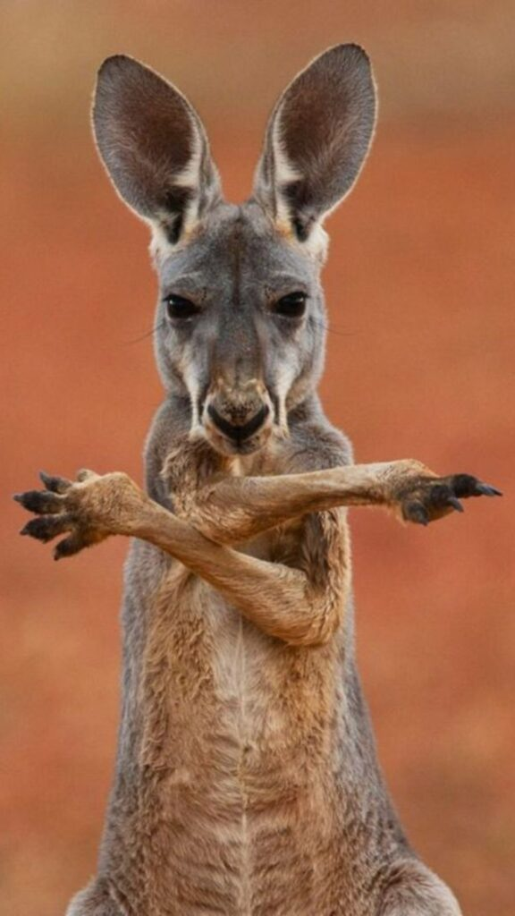 kangaroo mobile wallpaper
