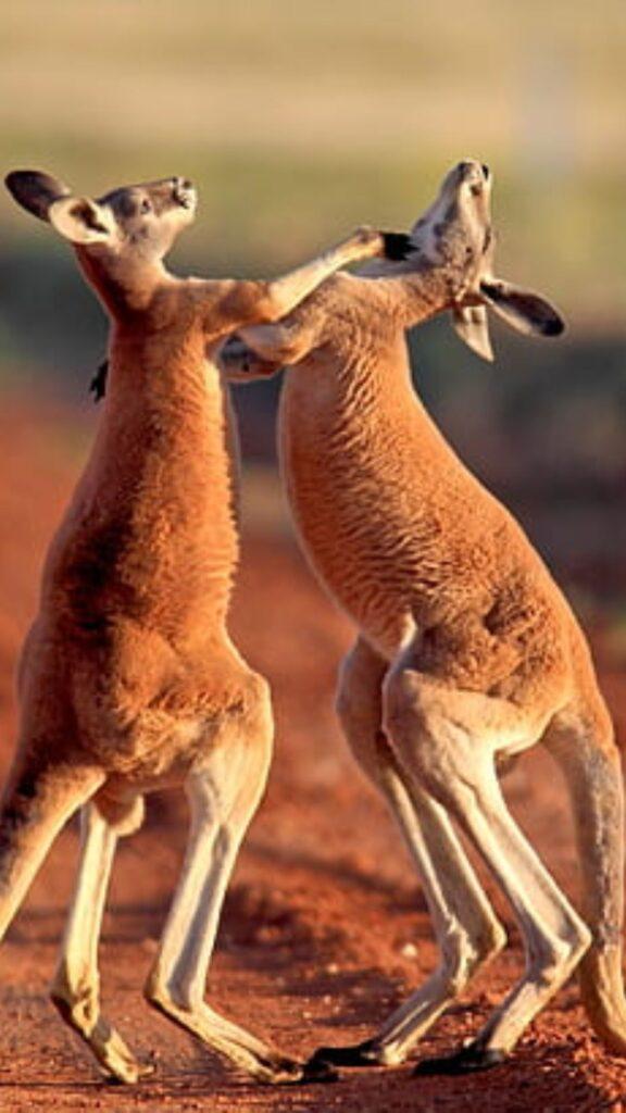 kangaroo phone wallpaper