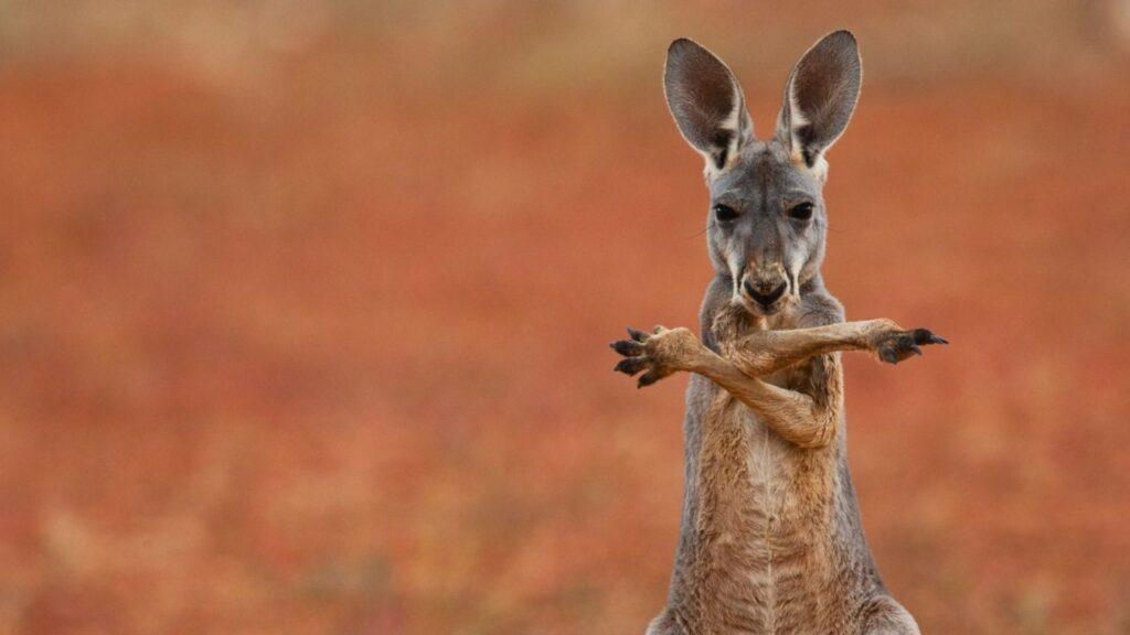 kangaroo wallpaper 1920x1080