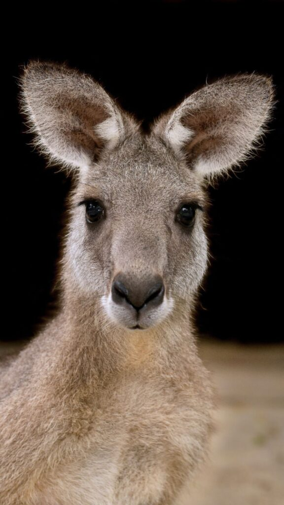 kangaroo iphone wallpaper